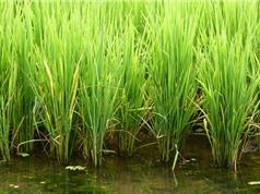 Giống lúa biến đổi gene có thể giúp điều trị HIV