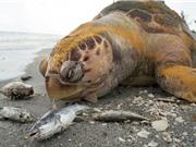Thủy triều đỏ giết chết nhiều sinh vật biển ở Mỹ