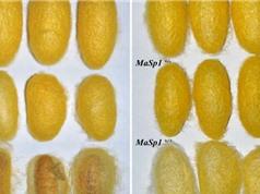 Công nghệ chỉnh sửa gene khiến tằm nhả tơ nhện