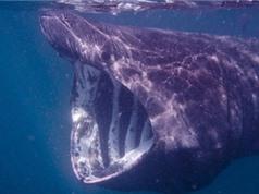 Một loài cá khổng lồ còn nhiều bí ẩn cần được khám phá