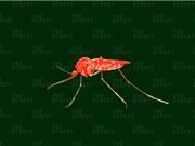 Thả muỗi biến đổi gene ở châu Phi