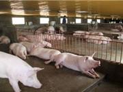 Bắc Kạn: Ứng dụng tiến bộ khoa học kỹ thuật xây dựng mô hình sản xuất giống bố mẹ và chăn nuôi lợn ngoại tập trung
