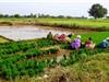 Khí thải nhà kính từ các cánh đồng lúa bị đánh giá thấp hơn thực tế