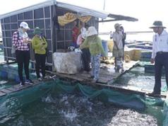 Quảng Ngãi: Ứng dụng tiến bộ kỹ thuật thử nghiệm ương giống cá Bớp giai đoạn từ trứng lên cá giống