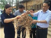 TS Nguyễn Thị Thúy Hường với vùng dược liệu tiền tỷ