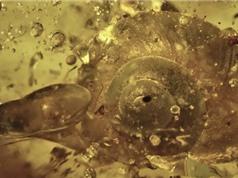 Phát hiện ốc sên tiền sử 99 triệu năm tuổi ở Myanmar