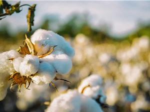 Mỹ cho phép trồng loại bông có hạt ăn được