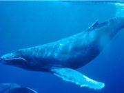 """Tàu biển chạy làm tắt """"tiếng hát đại dương"""" của cá voi lưng gù"""