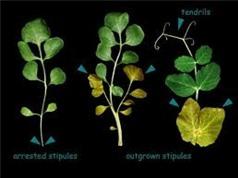 Lý giải được tại sao cây có hình dạng lá khác nhau