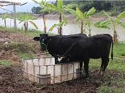 Vĩnh Phúc: Nghiên cứu đưa giống trâu, bò mới vào chăn nuôi trên địa bàn tỉnh