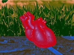 Nuôi cấy mô tim đập như tim thật