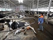 Thức ăn chăn nuôi tại châu Âu có nguy cơ nhiễm vi khuẩn biến đổi gene