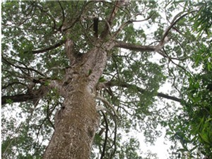 Phát hiện nhiều loài thực vật cổ ở vùng giáp biên giới Việt Nam và Trung Quốc