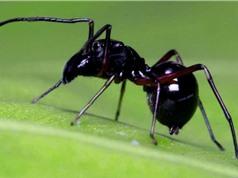 Loài nhện tiết ra sữa để nuôi con, giàu dinh dưỡng hơn sữa bò