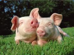 Họ hàng gần của con người sống sót sau khi… ghép tim lợn