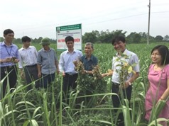 Nghệ An: Nghiên cứu xây dựng quy trình xen canh, luân canh bắt buộc một số loại cây trồng với mía tại các vùng nguyên liệu