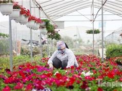 Ngành trồng hoa Việt Nam: Lỡ cơ hội xuất khẩu vì chưa tự chủ được giống