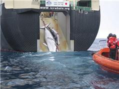 Nhật Bản sẽ tiếp tục săn bắn cá voi cho mục đích thương mại