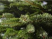 Phát triển công nghệ tận dụng lá kim của cây thông