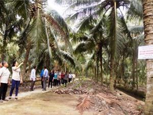 Bến Tre: Xây dựng vườn dừa kiểu mẫu sản xuất theo hướng hữu cơ tại xã Hưng Lễ