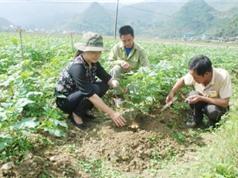 Lào Cai: Trồng khảo nghiệm giống khoai tây KT5