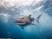 """Khả năng """"nhịn đói"""" kì lạ của cá mập voi"""