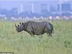 Vì sao những động vật lớn tiến hoá để đi bằng mũi chân?
