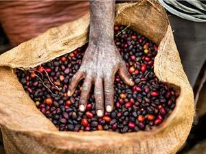 60% các giống cà phê hoang dã có thể biến mất trong vài thập kỷ tới