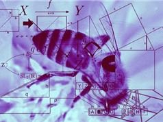 Ong mật đủ thông minh để học toán cơ bản