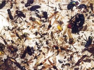 Côn trùng đối mặt nguy cơ tuyệt chủng, hệ sinh thái sẽ bị phá hủy