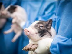 Lợn chỉnh sửa gene: Tham vọng của Trung Quốc