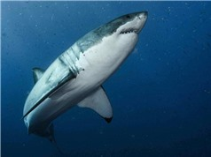 DNA cá mập trắng giúp hiểu cơ chế ngăn ngừa ung thư và chữa lành vết thương