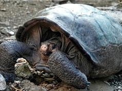 Phát hiện loài rùa khổng lồ đã biến mất hơn 110 năm