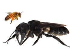 Loài ong lớn nhất thế giới tưởng tuyệt chủng vừa được phát hiện lại ở Indonesia
