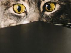 Mèo có khả năng phản ánh một phần tính cách của chủ