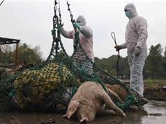 Biện pháp ứng phó dịch tả lợn châu Phi của một số nước