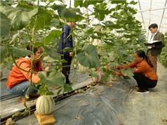Yên Bái: Chuyển giao xây dựng mô hình trồng dưa lưới theo hướng ứng dụng công nghệ cao tại xã Liễu Đô, huyện Lục Yên