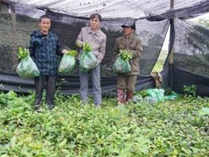 Thái Nguyên: Cấp giống chè trung du cho các hộ dân thuộc vùng chè Tân Cương