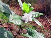 Phát hiện chất chống ung thư ở cây nụ đinh