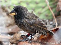 Các nhà khoa học phát hiện một loài chim mới tiến hóa trên đảo Galapagos
