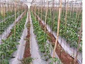 Giảm 70% lượng thuốc bảo vệ thực vật nhờ sử dụng ozone lỏng