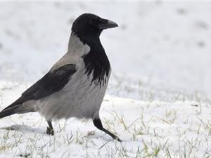 Phát hiện hai loài quạ đặc biệt ở châu Âu vẫn đang tiến hóa