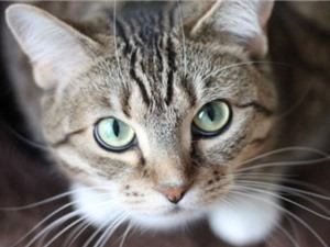 Nghiên cứu: Mèo biết bạn đang gọi tên nó nhưng đôi khi chúng phớt lờ thôi