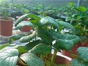Vĩnh Phúc: Trồng thử nghiệm giống Dâu tây chịu nhiệt F1 Nhật Bản Tochiotome