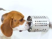 Chó có thể đánh hơi ung thư trong máu chính xác tới 97%