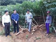 Nghệ An: Nghiên cứu áp dụng các giải pháp kỹ thuật xây dựng mô hình canh tác sắn bền vững trên địa bàn các huyện miền núi