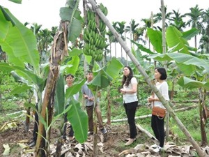 Hải Phòng: Xã Liên Khê, huyện Thủy Nguyên hướng tới xây dựng vùng sản xuất chuối theo tiêu chuẩn VietGAP