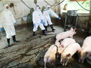 Dịch tả lợn châu Phi: Cần hỗ trợ tài chính để tăng cường an toàn sinh học