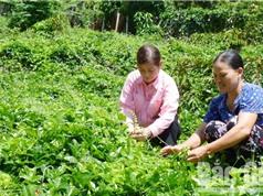 Vườn sâm dược liệu tỷ đồng từ câu chuyện dân gian