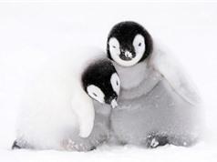 """Hàng ngàn con chim cánh cụt non đã bị """"xoá sổ"""" vì… chết đuối ở Nam Cực"""